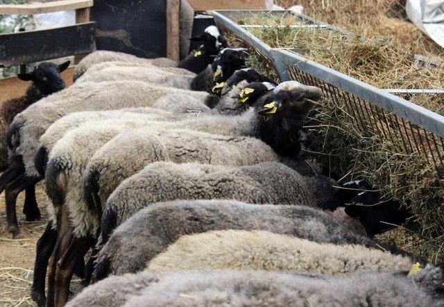 Romanov koyunlarla ticarete atıldı 2