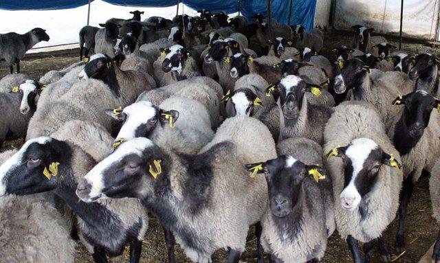 Romanov koyunlarla ticarete atıldı 3