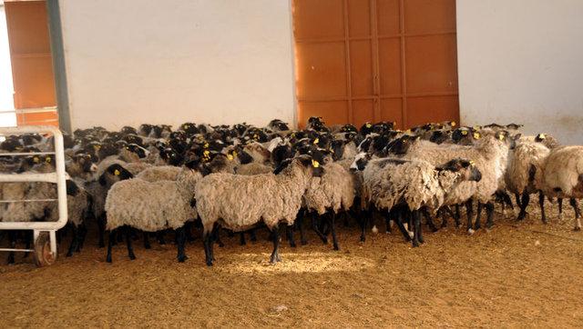Romanov koyunlarla ticarete atıldı 7