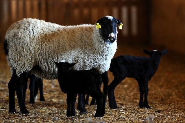 Romanov koyunlarla ticarete atıldı 8
