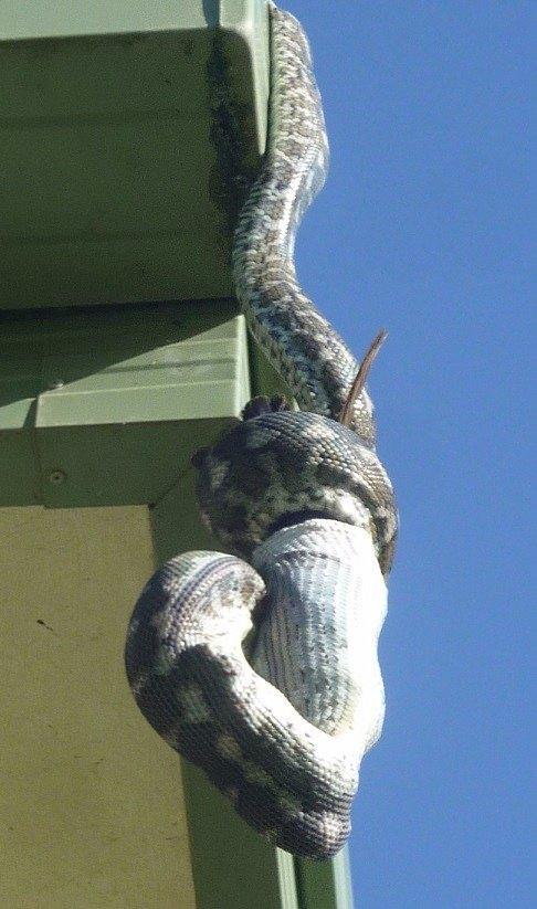 Piton yılanı en beklenmedik yerde saldırdı! 5
