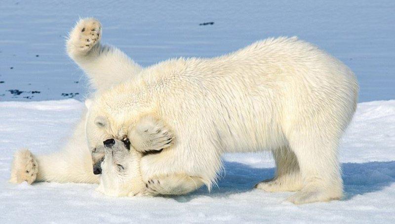 Dev kutup ayılarının sevimli kavgası 4