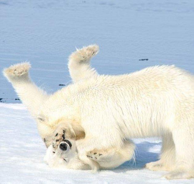 Dev kutup ayılarının sevimli kavgası 5