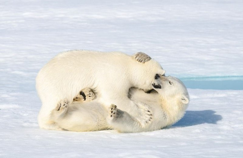 Dev kutup ayılarının sevimli kavgası 7