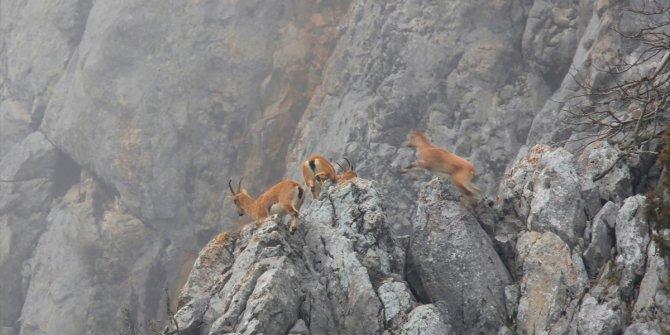 Torosların dağ keçileri
