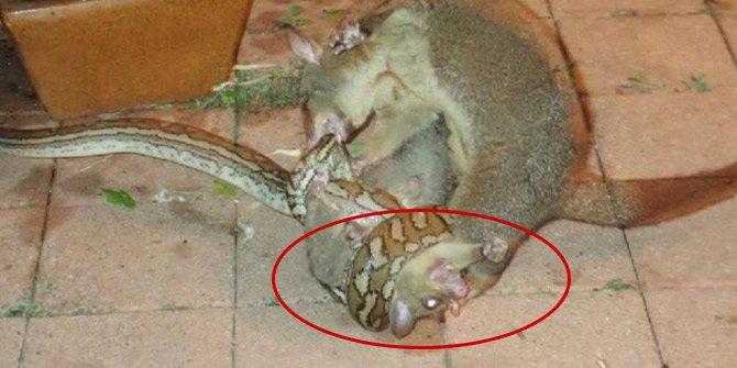 Keseli sıçan yavrusunu böyle kurtardı