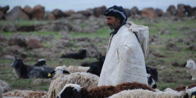 Koyunların yolculuğu