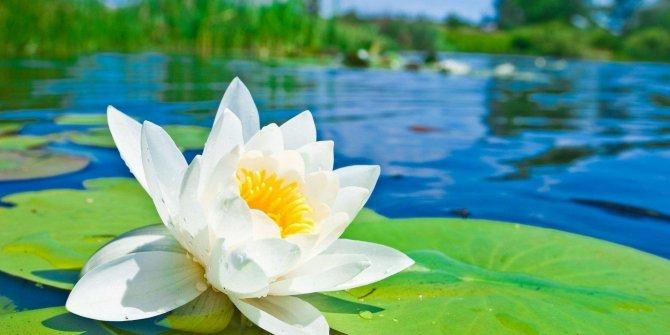 Dünyanın eşsiz bitkisi:Lotus çiçegi