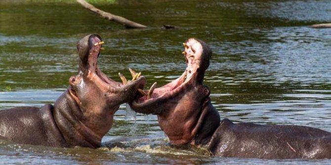 Hipopotamların sadece kafa ağırlıkları 450 kilodur.