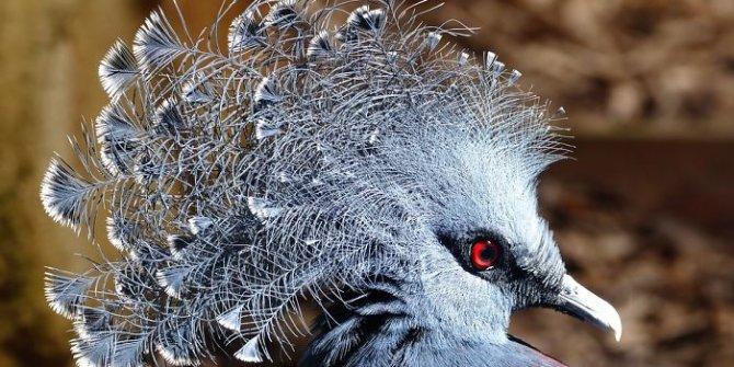 Bunu hiç görmediniz! 'Victoria Taçlı Güvercin'