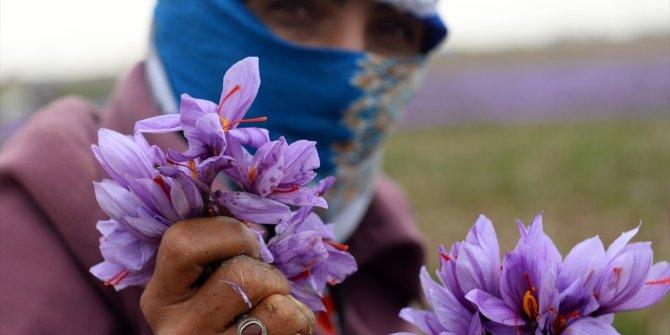 """İran'da safran üretimi-""""kızıl altın"""" -"""