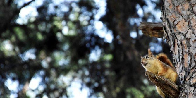 Sincapların sonbahar mesaisi