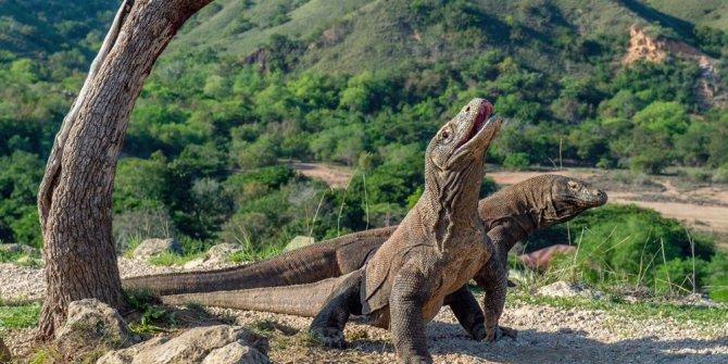 Ünlü Komodo Adası'na giriş için 1000 dolar verecek