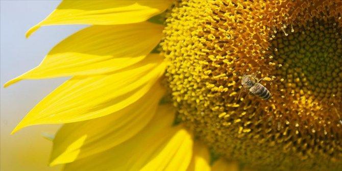 Trakya Birlik, ayçiçeği ön alım fiyatını açıkladı