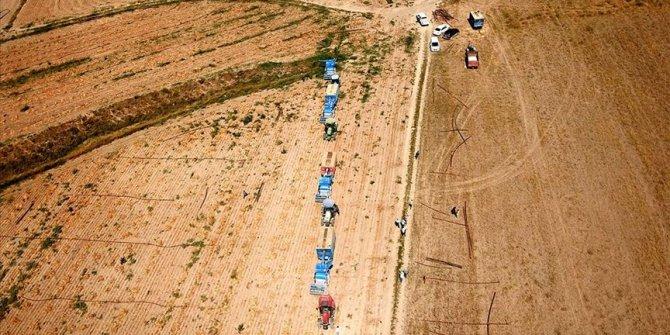 Bitlis'te kuru fasulye hasadından 370 milyon lira gelir beklentisi