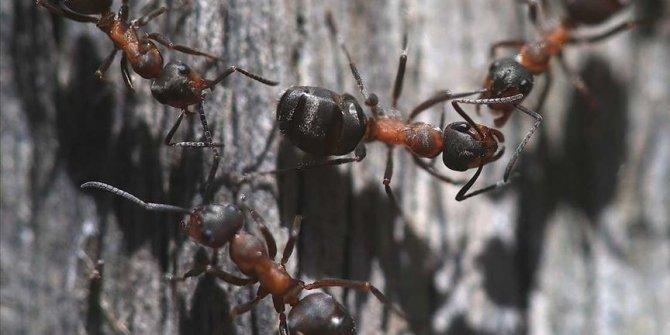 Türkiye'nin karınca çeşitliği araştırılıyor