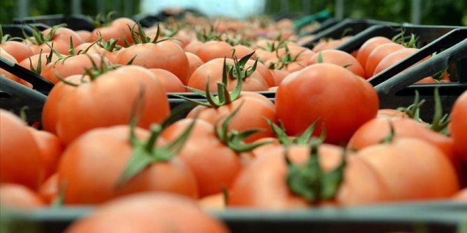 Tokat domatesinde umut seracılığa bağlandı