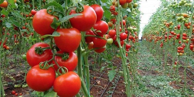Rusya'dan 4 şirkete daha domates ithalatı izni