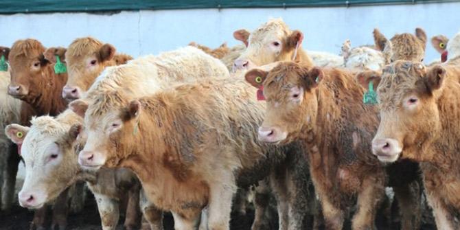 İrlanda'dan 2 bin sığır daha geliyor