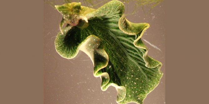 Fotosentez yapan deniz salyangozu keşfedildi