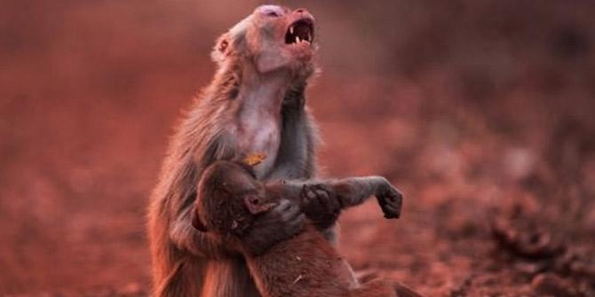 Anne maymun yavrusu için gözyaşı döktü! O anlar kaydedildi