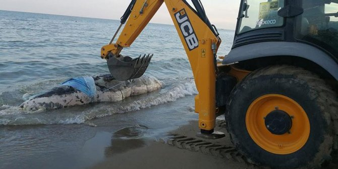 Antalya'da kıyıya balina vurdu!