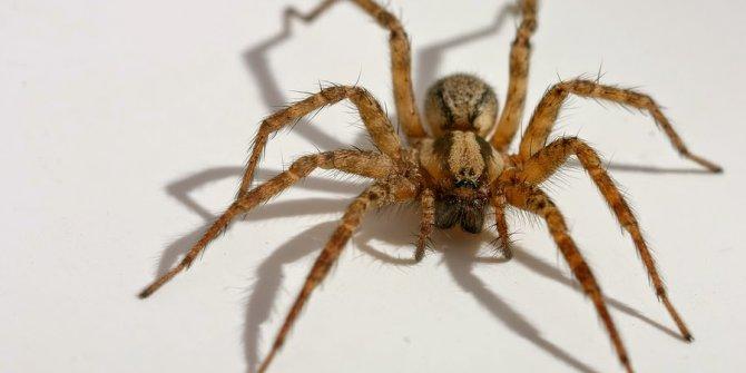 Evde gördüğünüz örümcekleri sakın öldürmeyin!Çünkü...