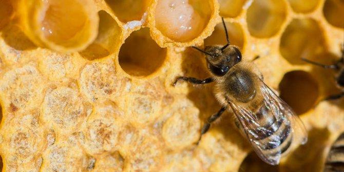 Arı sütünün faydaları