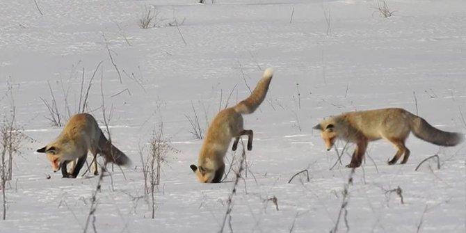 Tilki'nin karda fare avı kamerada!