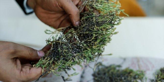 Keşfedilen bitkiye Aziz Sancar'ın adı verildi!