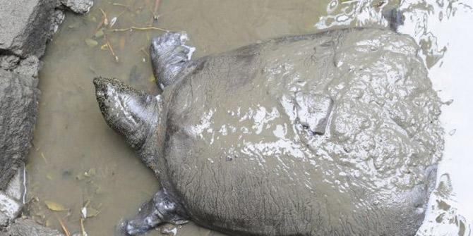 Son 4 Yangtze kaplumbağasından biri artık yok