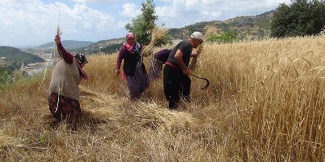 İlk buğday hasadı Antalya'da yapıldı