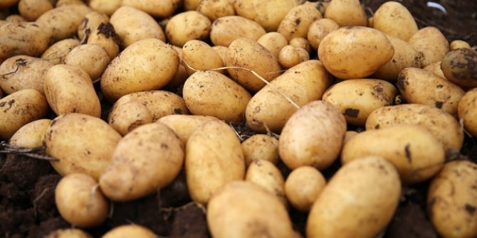 İnegöl'de 40 bin ton patates hasadı bekleniyor