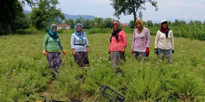 Köylü kadın girişimcilerin hasat heyecanı