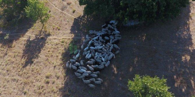 97 küçükbaş hayvan kayboldu! Drone ile bulundu