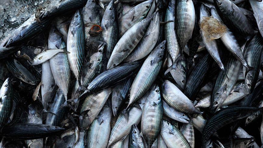 Av yasağı sona eriyor ama Karadenizli balıkçı palamuttan umutlu değil