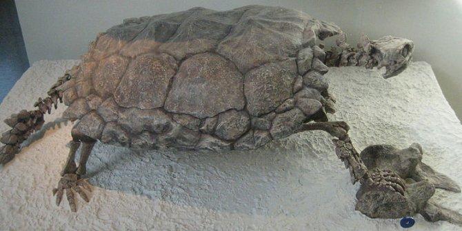 Güney Amerika'da araba genişliğinde kaplumbağa fosili bulundu