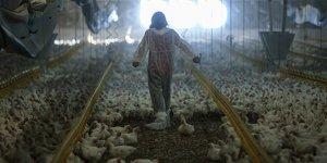 50 bin kapasiteli tavuk çiftliğinin kadın patronu