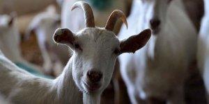 Zeytinler için 22 keçiyi telef etti!