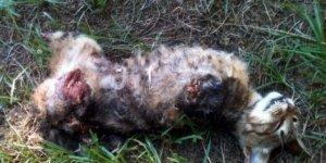 Yavru kediye yapılan işkence