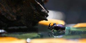 Bilim adamları Gergedan böceklerine savaş aştı