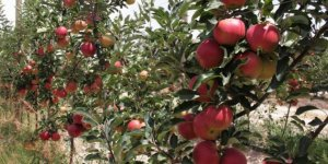 İstanbul'un nüfusuna yakın elma ağacı olan Karaman'da elma hasadı başladı!
