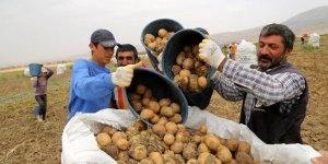 Sivas'ta 7 çeşit patates üretildi!