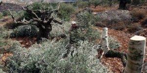 Batı Şeria'da Yahudi yerleşimciler 140 zeytin ağacını kesti!