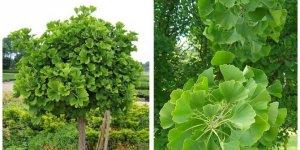 Ginkgo biloba nedir? Ginkgo biloba bitkisinin faydaları neler?
