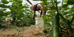 Güney Marmara seralarında 'sosyal mesafeli' salatalık hasadı
