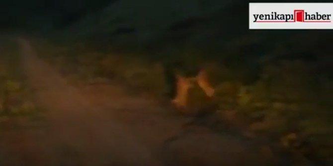 Tavşanların kavgası böyle kameralara yansıdı