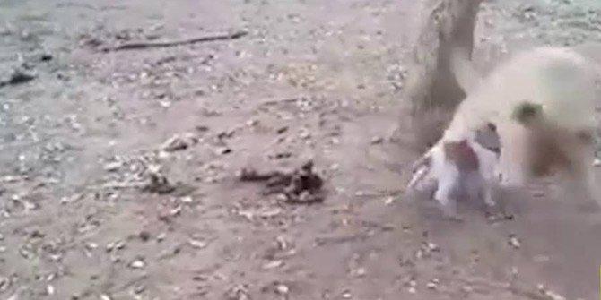 Küçücük köpek koskoca aslanlara kök söktürdü