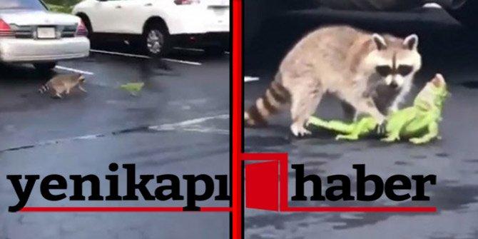 Rakun ve iguana'nın acımasız kavgası!