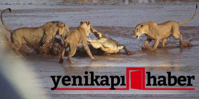 Aslanlar timsaha tuzak kuruyor! O anları böyle görüntüledi!